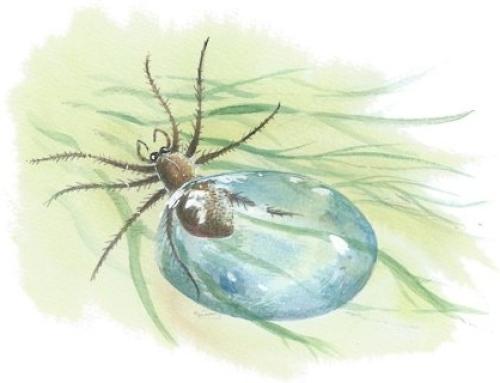 The Scuba Diver Spider
